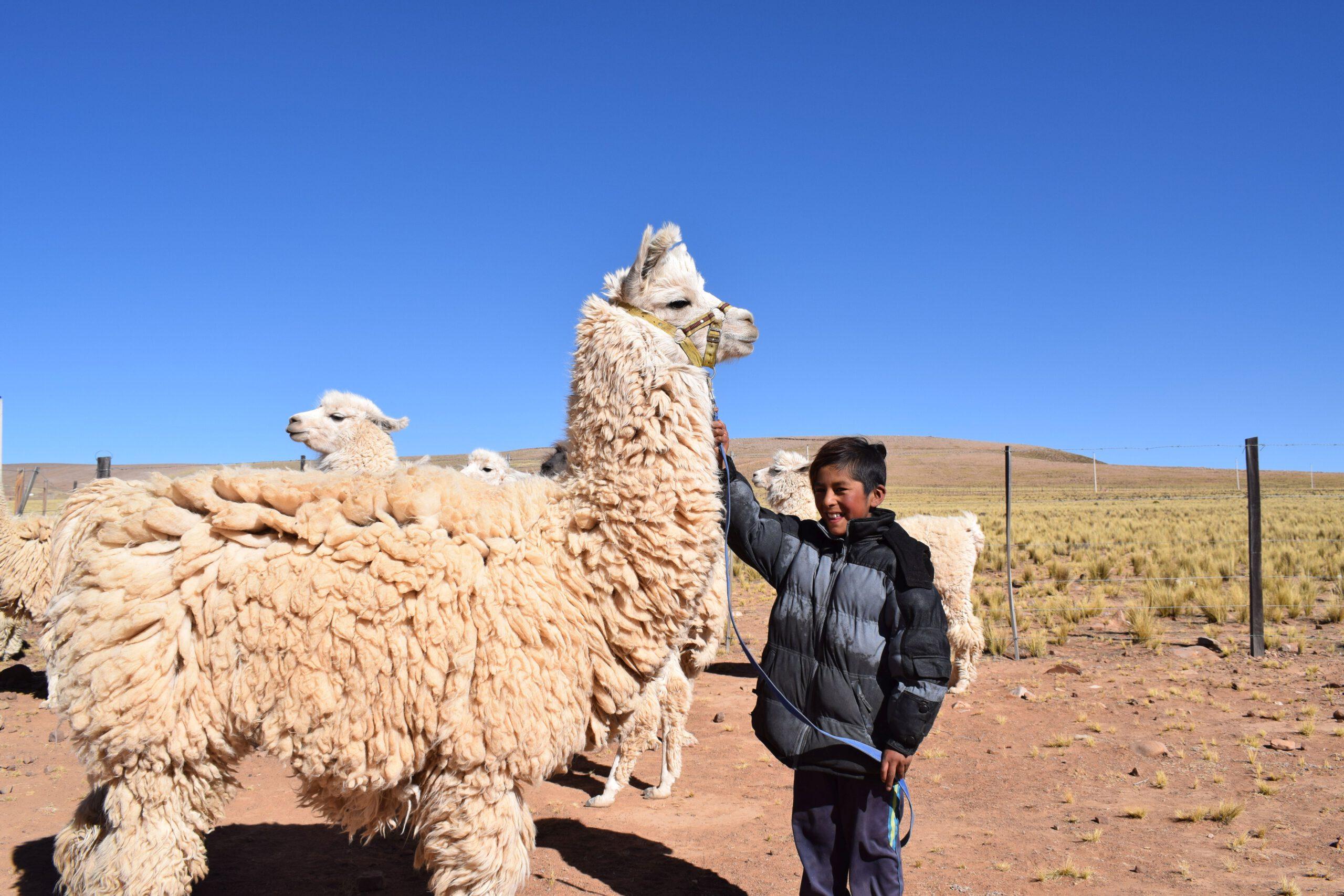 GNO0472_Lamas zur Wollgewinnung_Plan International_Bild stammt aus einem ähnlichen Plan-Projekt in Bolivien_Bild2