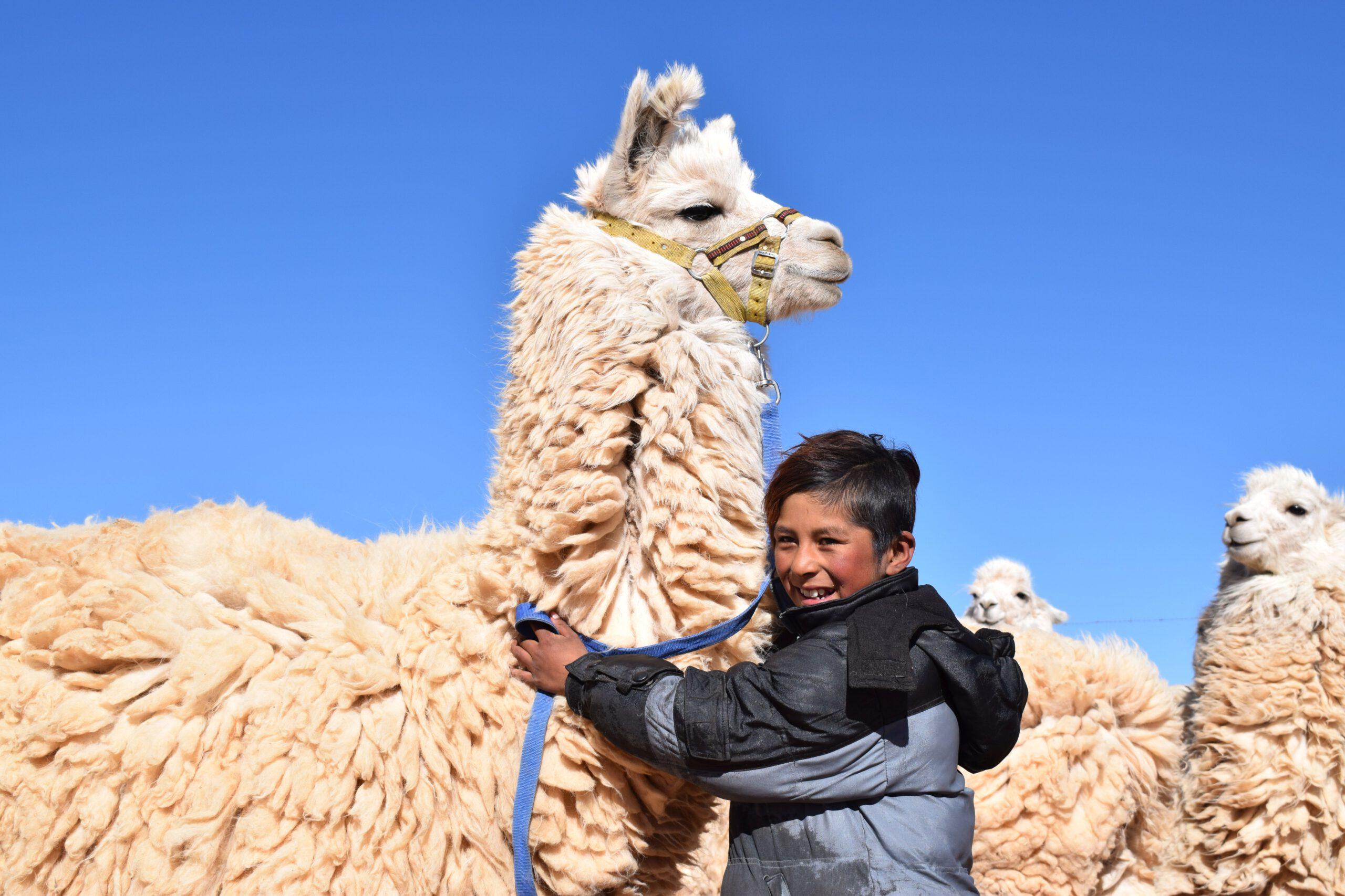 Sinnvoll schenken: Lamas zur Wollgewinnung