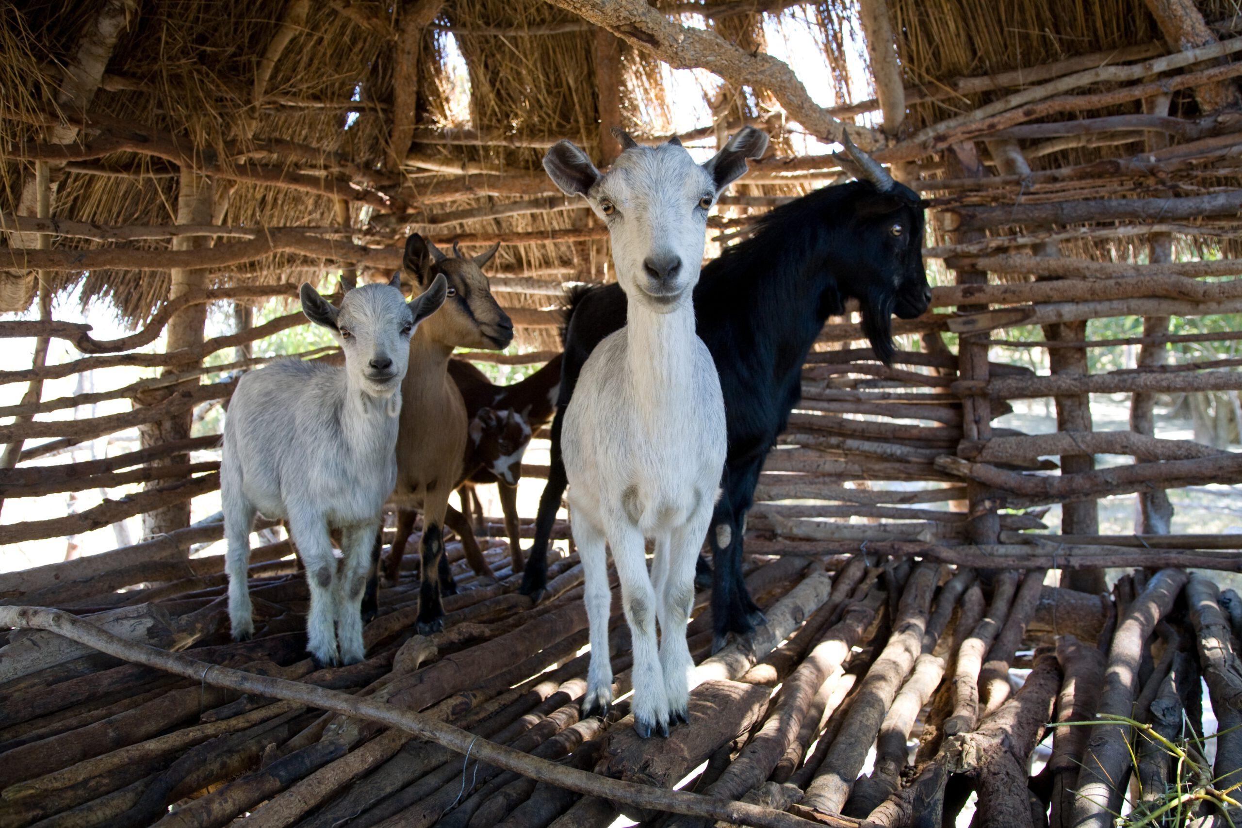 GNO0473_Ziege_Plan International_Bild stammt aus einem ähnlichen Plan-Projekt in Sambia