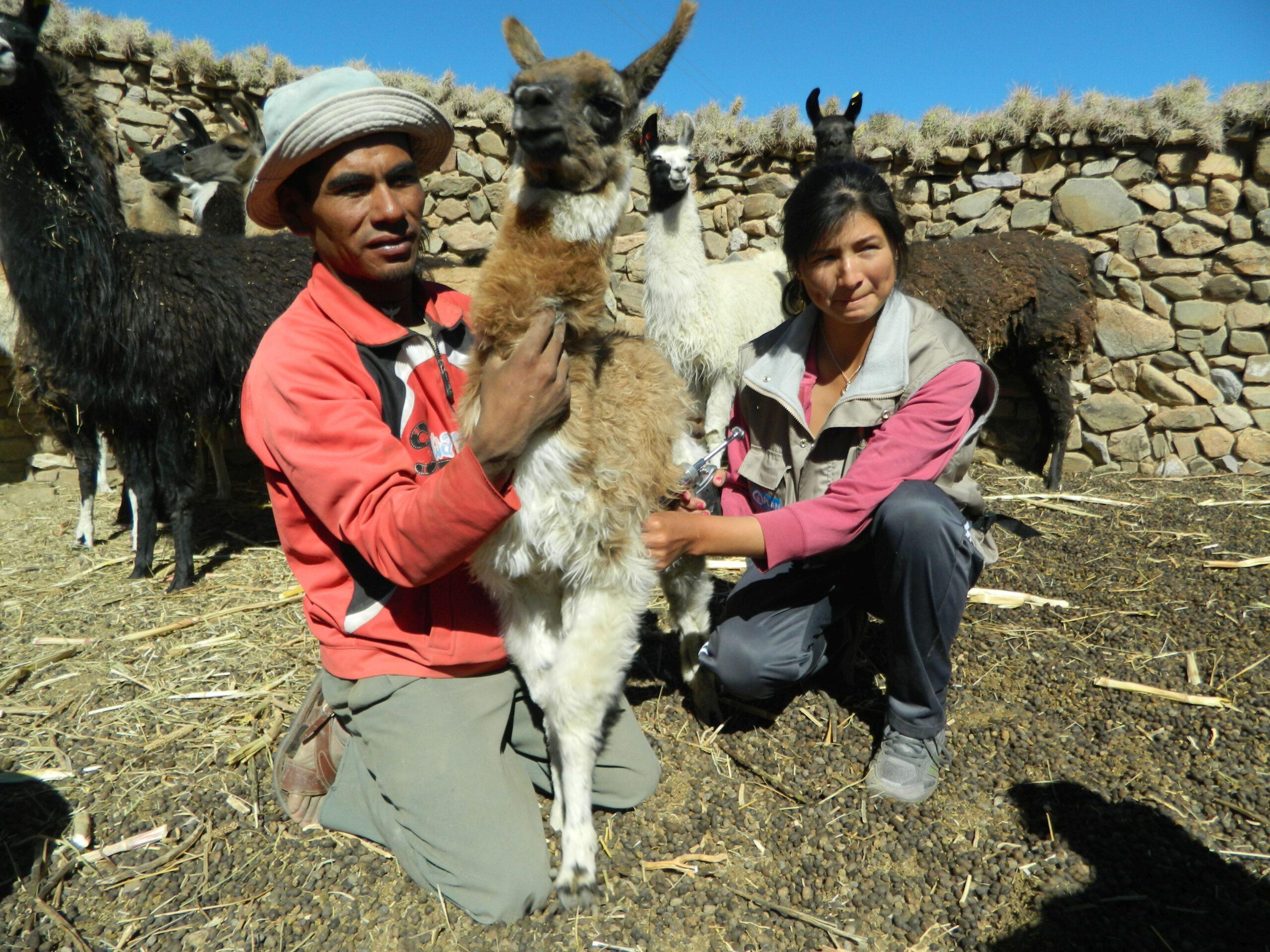 Lamas zur Wollgewinnung in Bolivien